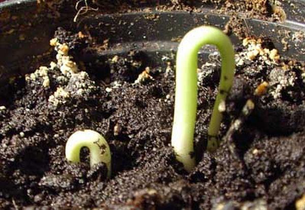 Проращивание посаженных косточек вишни