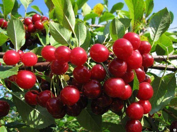 Вишня Изобильная – любимица всех дачников и садоводов
