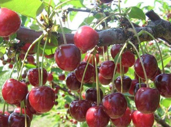Вишня Маяк страдает от коккомикоза и плодовой гнили