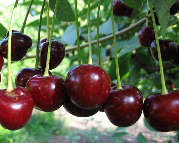 Ягоды вишни Молодежная созревают в конце июля