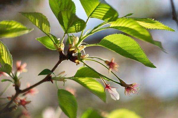 Плодоношение вишни может зависеть от окружающей среды
