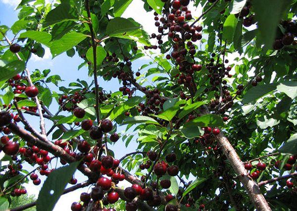 С одного дерева можно собрать не более 10 кг плодов