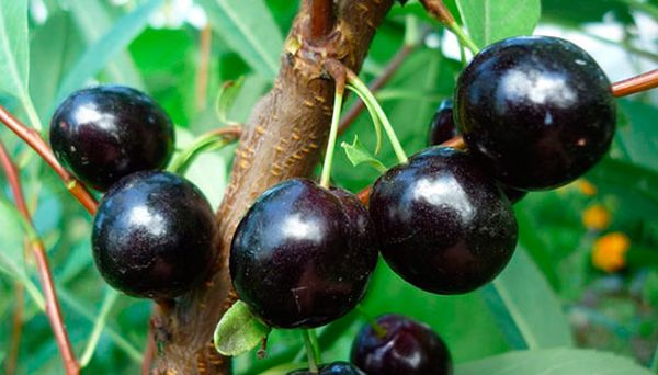 Данный сорт ценится крупными и вкусными плодами