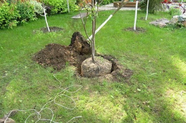 Между древовидными вишнями сохраняют 3-4 метра