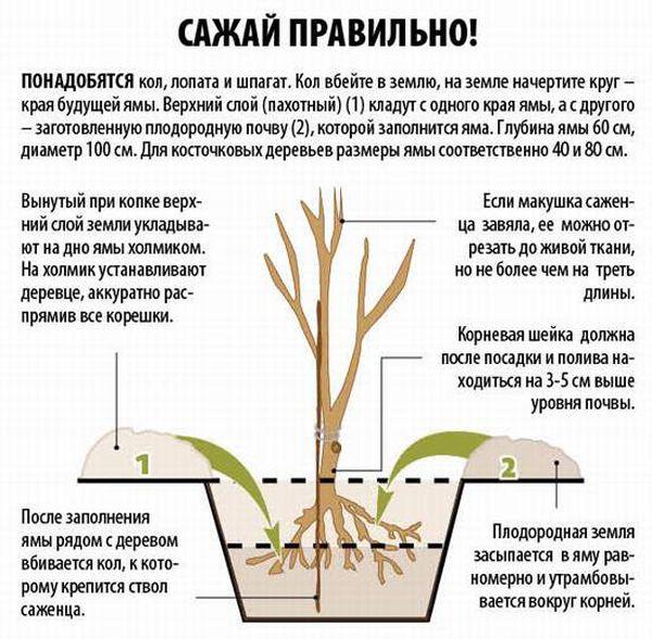 Схема посадки вишни в грунт
