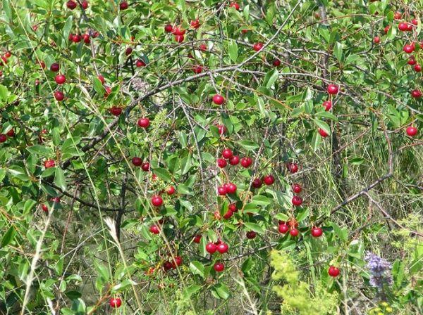 Посадку вишни весной проводят не ранее апреля