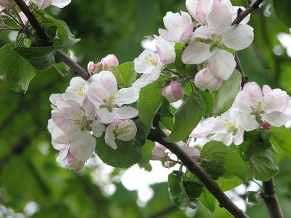 Цветение яблони Гала начинается в конце весны