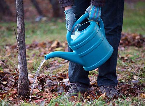 Молодые яблони Пепин необходимо еженедельно поливать