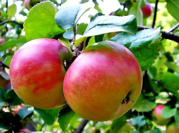 Карликовые сорта яблонь для средней полосы