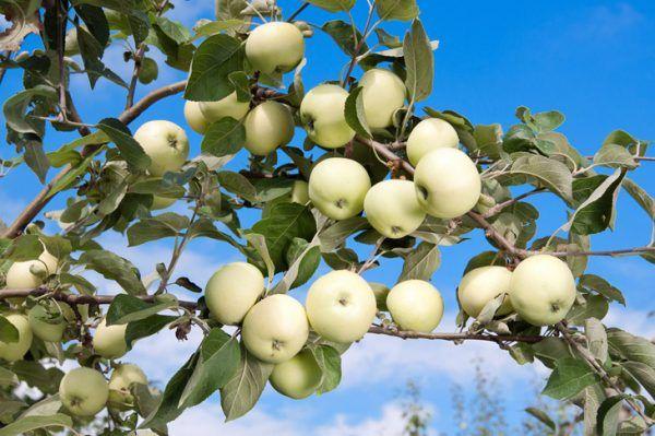 Яблоня Белый налив: описание и характеристика сорта