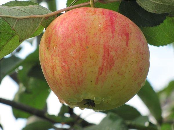 Яблоня Орлинка - летний сорт яблок