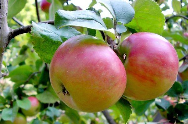 Яблоня должна плодоносить ежегодно