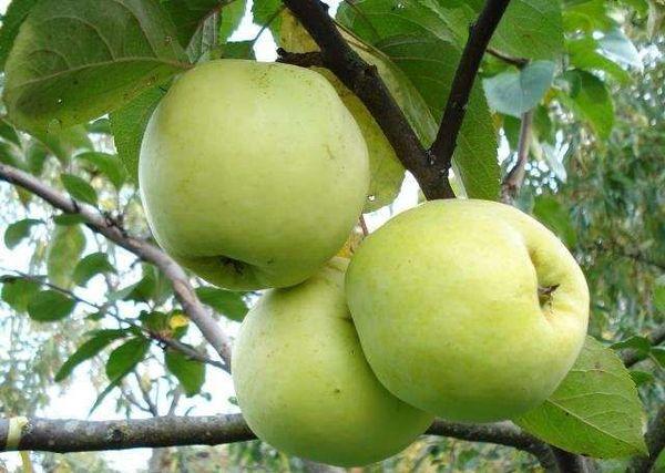В саду должна быть яблоня, которая плодоносит ранней осенью