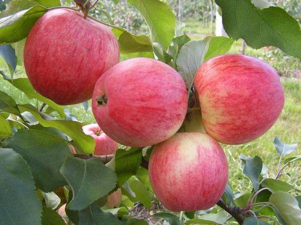 Яблоня Солнышко: описание и характеристика сорта