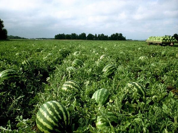 Для выращивания арбузов в Беларуси выбирают скороспелые сорта