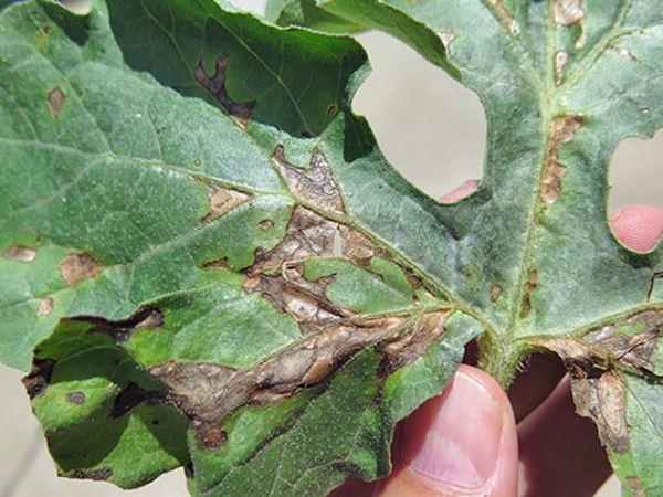 При антракнозе на листьях появляются язвы