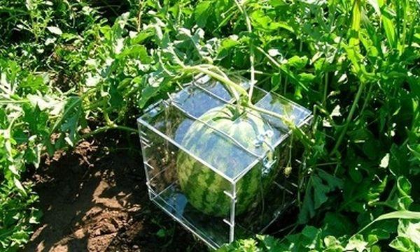 Эта коробка формирует итоговую форму плода