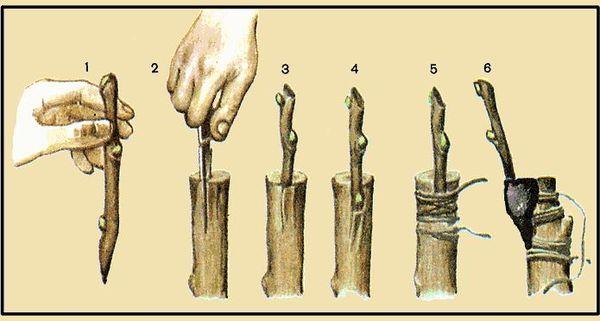 Прививка по методу Титтелю