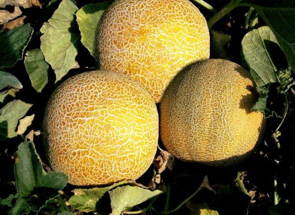 Дыню чаще выращивают в открытом грунте