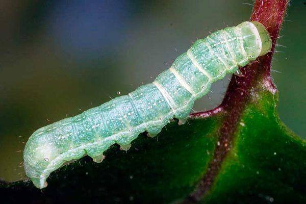 Подгрызающие совки – это гусеницы