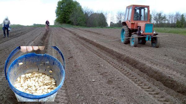 Семена тыквы высаживают в открытый грунт после 15 мая