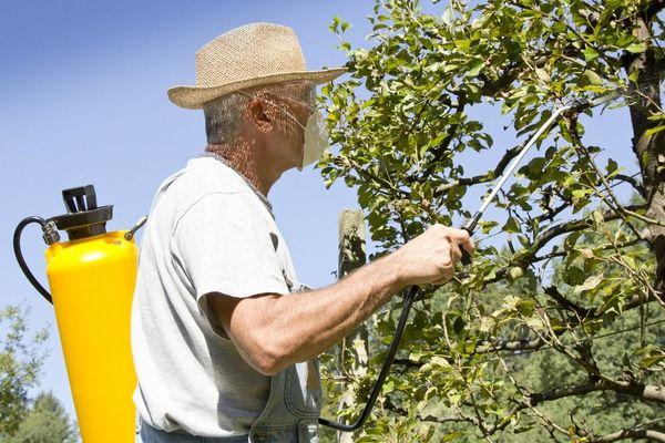 Последний этап опрыскивания яблонь припадает на май