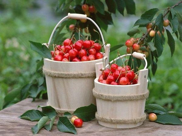 При правильной посадке вишня даст богатый урожай