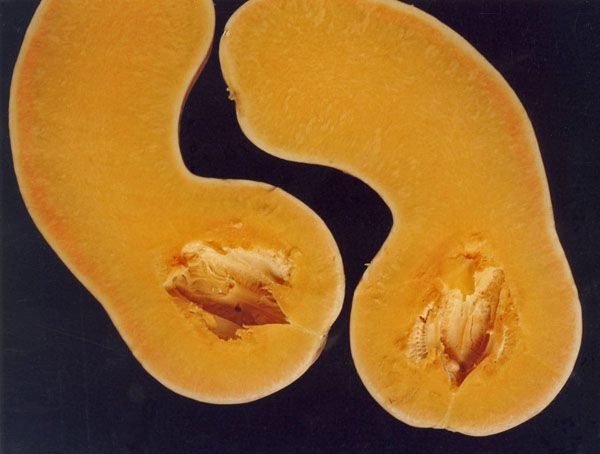 Плоды сорта имеют большие размеры