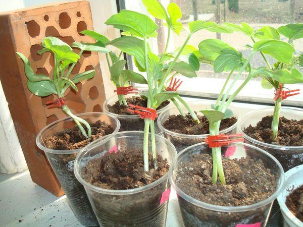 Для усиления корневой системы арбузы прививают на тыкву