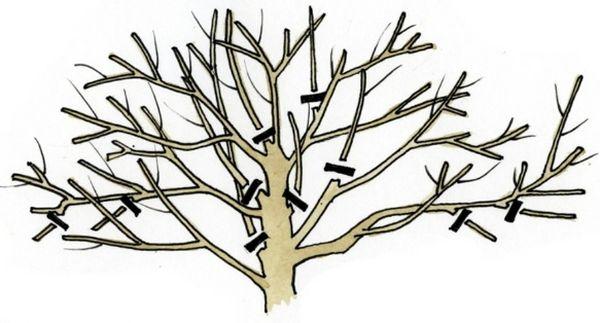 Схема формирования кроны вишни