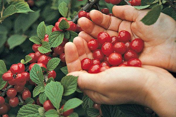 При правильном уходе вишня даст богатый урожай