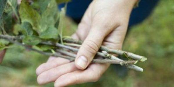 Чаще всего яблоню выращивают из черенка