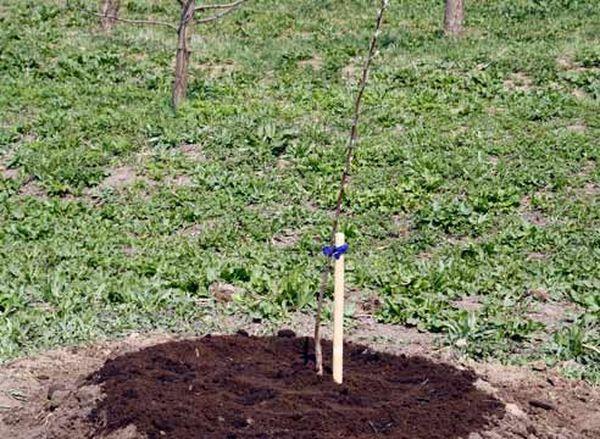 Во время укоренения черенки яблонимогут терять листья