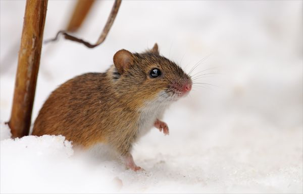 Мыши могут грызут кору деревьев в саду