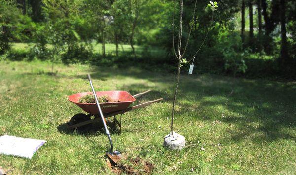 В открытый грунт саженец пересаживают весной или осенью