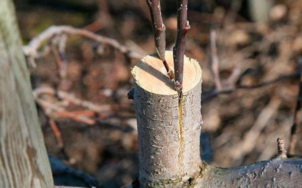 Можно и нужно прививать плодовые деревья
