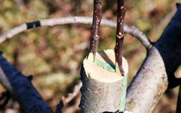 Прививка плодового дерева в расщеп