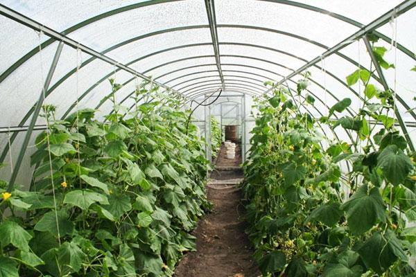 Благоприятные условия для выращивания огурцов в теплице
