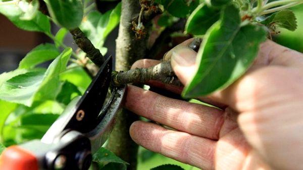 Садоводы рекомендуют формировать колоновидные яблони