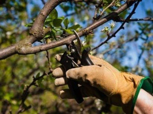 Обрезая яблони не забывайте обрабатывать места срезов
