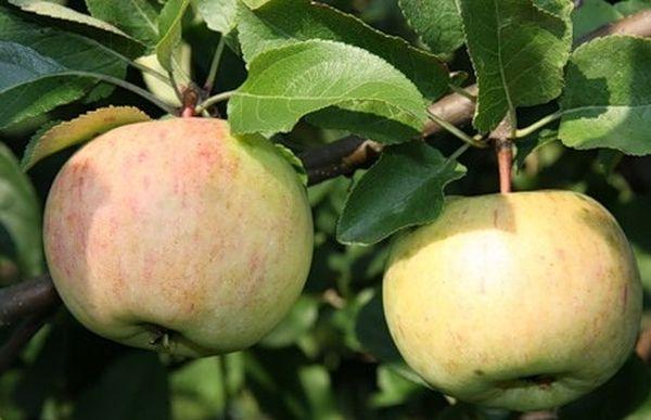 Урожай яблок Болотовское созревает в сентябре