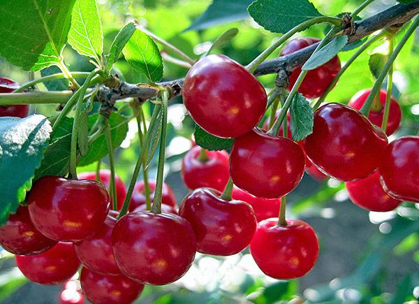 Средний вес ягоды Щедрая не более 4 г