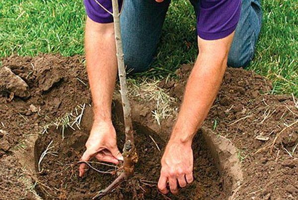 Посадка карликовой яблони может выполняться осенью