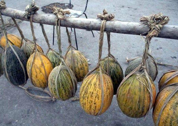 Плоды можно хранить в подвешенном виде