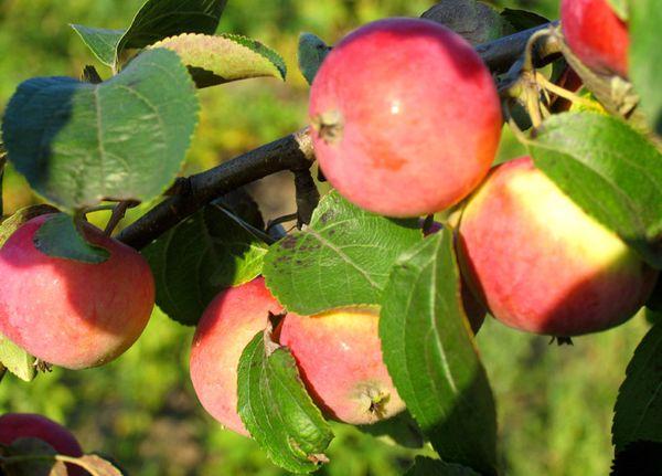 Плоды яблони Болотовское хранятся до полугода