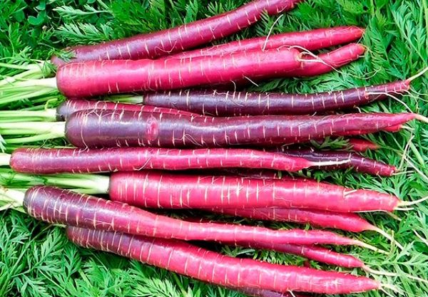 Dragon carrots prefer abundant watering