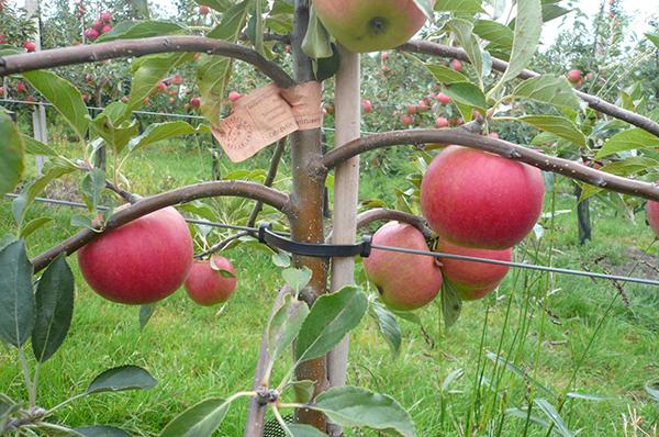 Карликовые яблони нуждаются в регулярном поливе