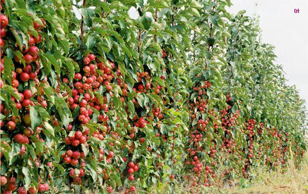 Колоновидная яблоня на 4-й год дает полноценный урожай