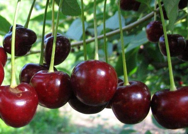 Особой популярностью у садоводов пользуется вишня Загорьевская