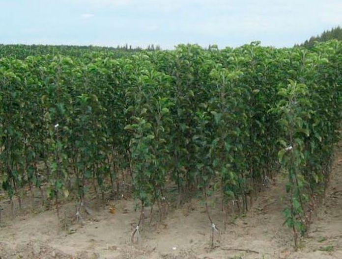 Высаживают юные деревца весной или осенью